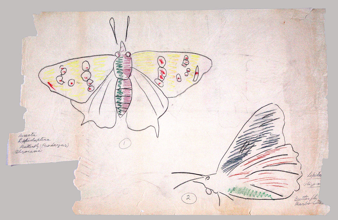 Erwin Barbour, Insecta Lepidoptera, Butterfly, Prodryas Oligocene, Drawing # 5, colored pencil on paper, c. 1927